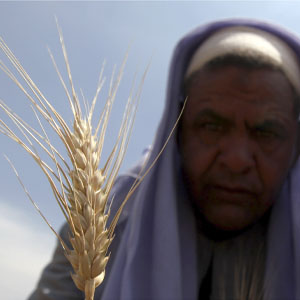 A farmer harvests wheat on a field in the El-Menoufia governorate, about 100 km north of Cairo April 23, 2013. (Reuters)